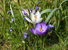 Flores do açafrão no jardim Imagens de Stock Royalty Free