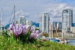 Flores do açafrão no jardim da cidade na mola Imagens de Stock Royalty Free
