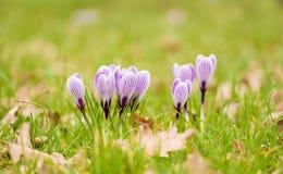 Flores do açafrão no jardim verde Fotografia de Stock