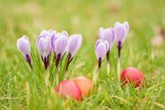 Flores do açafrão no jardim verde Fotos de Stock Royalty Free