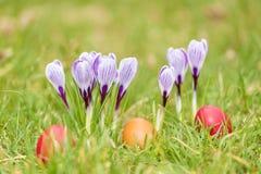 Flores do açafrão no jardim verde Imagens de Stock Royalty Free