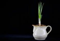 Flores do açafrão no potenciômetro Fotografia de Stock Royalty Free