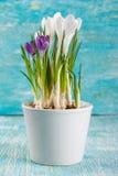 Flores do açafrão no potenciômetro branco Fotos de Stock