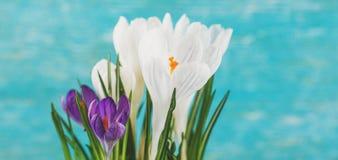 Flores do açafrão no potenciômetro branco Imagens de Stock