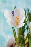 Flores do açafrão no potenciômetro branco Imagens de Stock Royalty Free