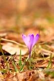 Flores do açafrão no prado Fotografia de Stock