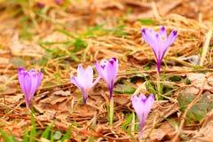 Flores do açafrão no prado Imagens de Stock
