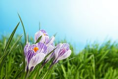 Flores do açafrão no prado Foto de Stock Royalty Free