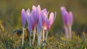 Flores do açafrão no prado verde video estoque