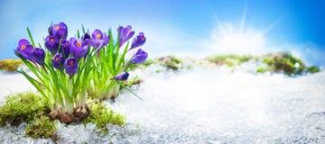 Flores do açafrão que florescem através da neve de derretimento Foto de Stock Royalty Free