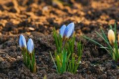 Flores do açafrão que florescem em um jardim Fotografia de Stock