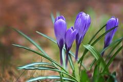 Flores do açafrão roxo Fotos de Stock