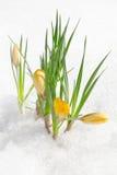 Flores do açafrão, snowdrops Fotografia de Stock Royalty Free