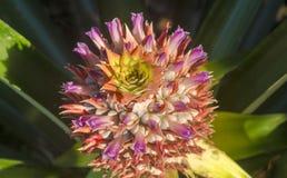 Flores do abacaxi Fotografia de Stock Royalty Free