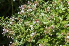 Flores do abelia lustroso, Abelia x grandiflora imagens de stock royalty free