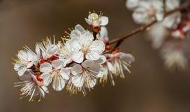 Flores do abricó Imagens de Stock Royalty Free