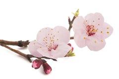 Flores do abricó foto de stock royalty free