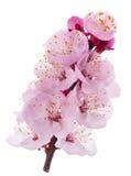 Flores do abricó fotografia de stock royalty free