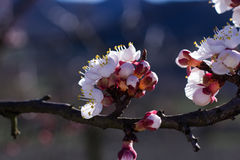Flores do abricó Foto de Stock