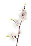 Flores do abricó no fundo branco Imagem de Stock