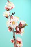 Flores do abricó no fundo de turquesa Imagens de Stock Royalty Free