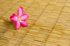 Flores do Adenium no cores de vime. Foto de Stock