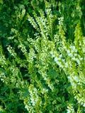 Flores do albus de Melilotus no prado fotos de stock