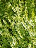 Flores do albus de Melilotus no prado fotografia de stock royalty free