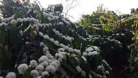 Flores do algodão do café em Gia Lai fotos de stock