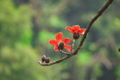 Flores do algodão no tempo de mola foto de stock royalty free