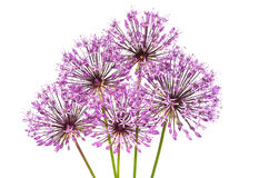 Flores do Allium Fotos de Stock Royalty Free