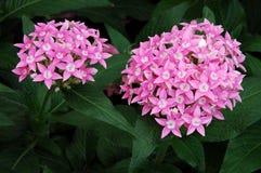 Flores do Allium fotos de stock