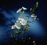 Flores do alperce fotografia de stock