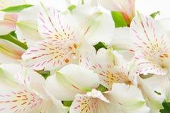 Flores do Alstroemeria Fotos de Stock