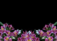 Flores do Alstroemeria no fundo preto fotos de stock royalty free