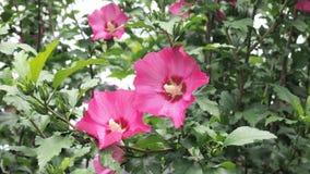 Flores do Althea, imagem de fundo Fotos de Stock