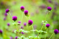 Flores do amaranto de globo Imagem de Stock Royalty Free
