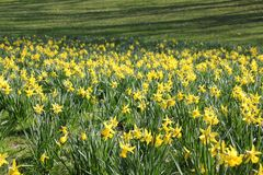 Flores do amarelo do campo de Narcis Imagem de Stock