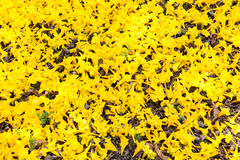 Flores do amarelo do chrysotricha de Tabebuia Foto de Stock