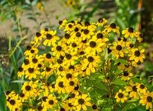 Flores do amarelo do triloba do Rudbeckia (Susan browneyed, Susan de olhos castanhos, coneflower fino-com folhas, coneflower três Imagem de Stock