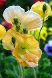 Flores do amarelo e da cor da nata Imagem de Stock