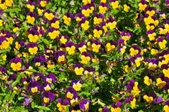Flores do amor perfeito Fotografia de Stock
