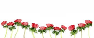 Flores do Anemone Foto de Stock