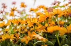 Flores do angustifolia do Zinnia Fotografia de Stock Royalty Free