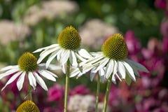 Flores do anjo perfumado do Echinacea fotos de stock royalty free