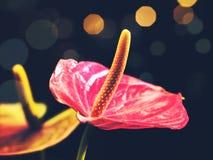 Flores do antúrio da beleza Imagem de Stock Royalty Free