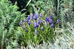 Flores do armeniacum do Muscari Imagem de Stock