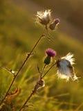 Flores do arvense do Cirsium após a florescência Foto de Stock