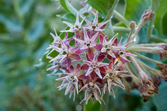 Flores do Asclepias na natureza em Califórnia fotografia de stock royalty free