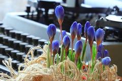 Flores do azul da mola Foto de Stock Royalty Free